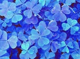 blue shamrocks-edit